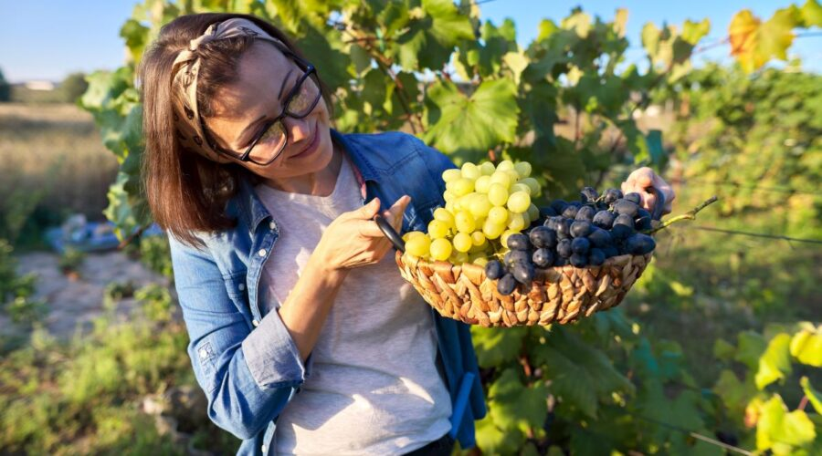 woman holding basket of freshly harvested local grapes